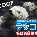 ラッコは他の哺乳類に比べて、かなり毛深い!!